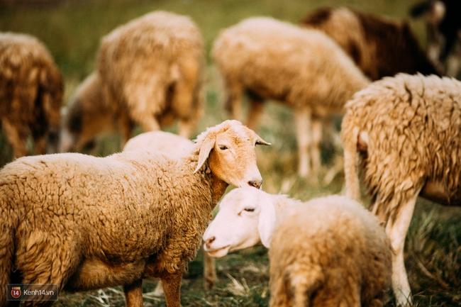 Một cánh đồng hoa bao la với bầy cừu xinh xắn, ở Hà Nội cũng có rồi đấy! - Ảnh 4.