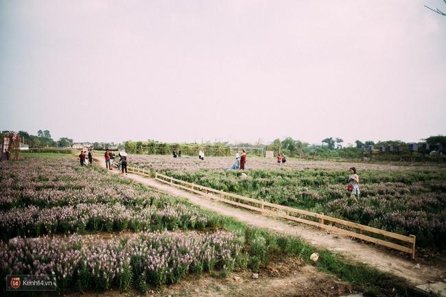 Một cánh đồng hoa bao la với bầy cừu xinh xắn, ở Hà Nội cũng có rồi đấy! - Ảnh 9.