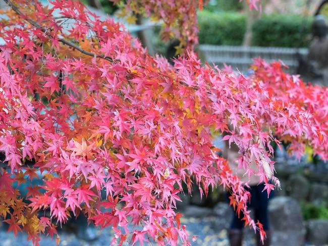 Ngắm nhìn Nhật Bản trầm mặc mà vẫn đẹp đến nao lòng mỗi độ thu sang - Ảnh 1.