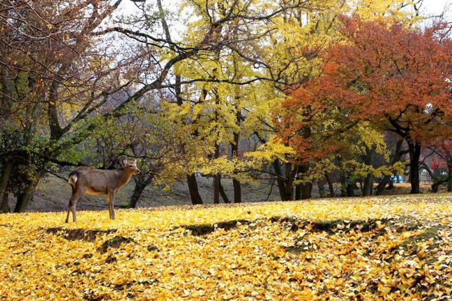 Ngắm nhìn Nhật Bản trầm mặc mà vẫn đẹp đến nao lòng mỗi độ thu sang - Ảnh 9.