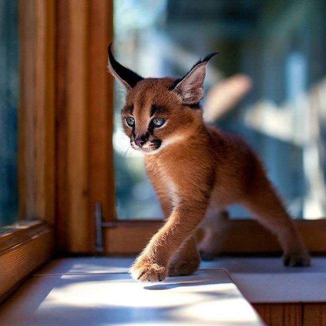 Giống mèo tai nhọn tuyệt đẹp mang hơi thở của rừng sâu - Ảnh 1.