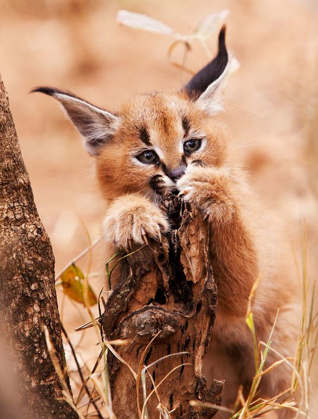 Giống mèo tai nhọn tuyệt đẹp mang hơi thở của rừng sâu - Ảnh 2.
