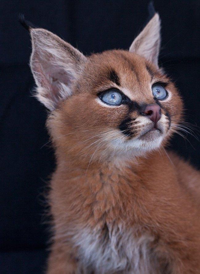 Giống mèo tai nhọn tuyệt đẹp mang hơi thở của rừng sâu - Ảnh 3.