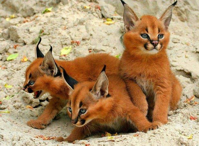 Giống mèo tai nhọn tuyệt đẹp mang hơi thở của rừng sâu - Ảnh 7.