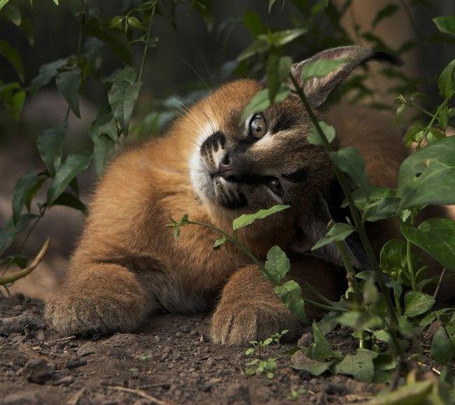Giống mèo tai nhọn tuyệt đẹp mang hơi thở của rừng sâu - Ảnh 8.
