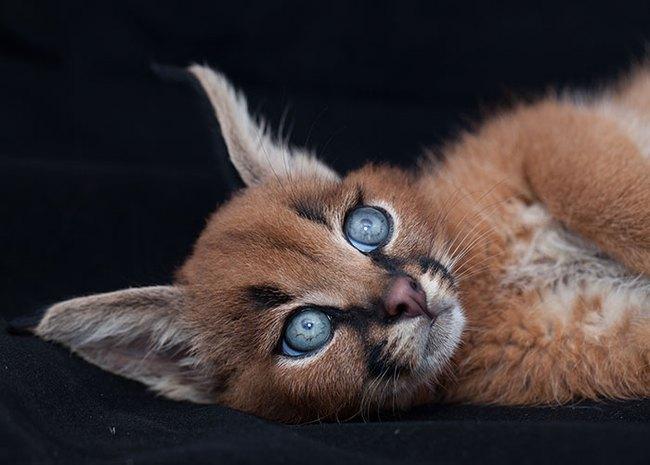 Giống mèo tai nhọn tuyệt đẹp mang hơi thở của rừng sâu - Ảnh 9.