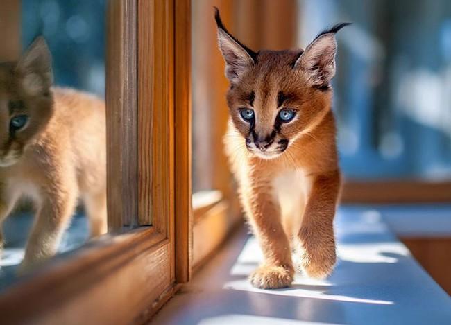 Giống mèo tai nhọn tuyệt đẹp mang hơi thở của rừng sâu - Ảnh 10.