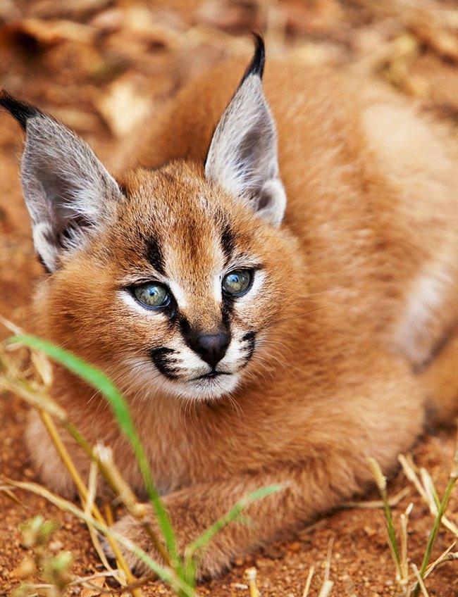 Giống mèo tai nhọn tuyệt đẹp mang hơi thở của rừng sâu - Ảnh 5.