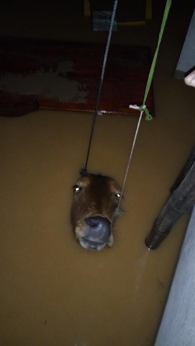 Tác giả bức ảnh con bò chìm trong nước lũ lên tiếng - ảnh 1