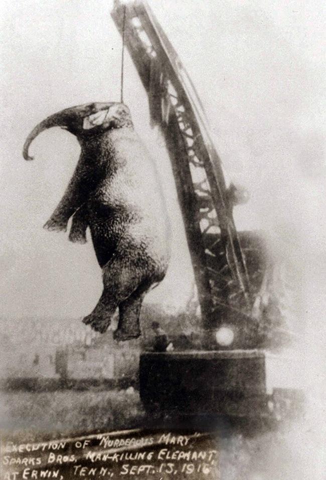Chú voi bất hạnh nhất trong lịch sử, bị con người treo cổ tới chết - ảnh 1