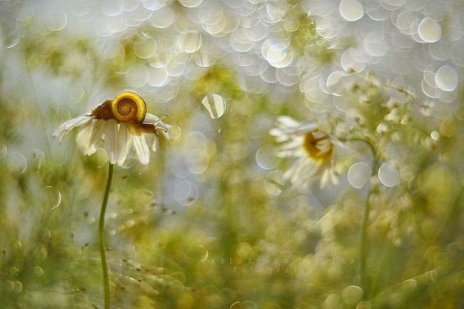 Bộ ảnh đẹp lung linh về ốc sên quấn quít bên hoa trong sương sớm - Ảnh 10.