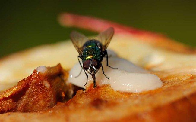 Chuyện khủng khiếp gì sẽ xảy ra khi ruồi đậu lên miếng thịt của bạn? - Ảnh 3.