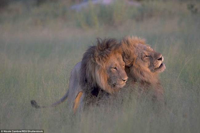 Bắt quả tang đôi sư tử đực công khai vui xuân tình giữa trời đất - Ảnh 1.