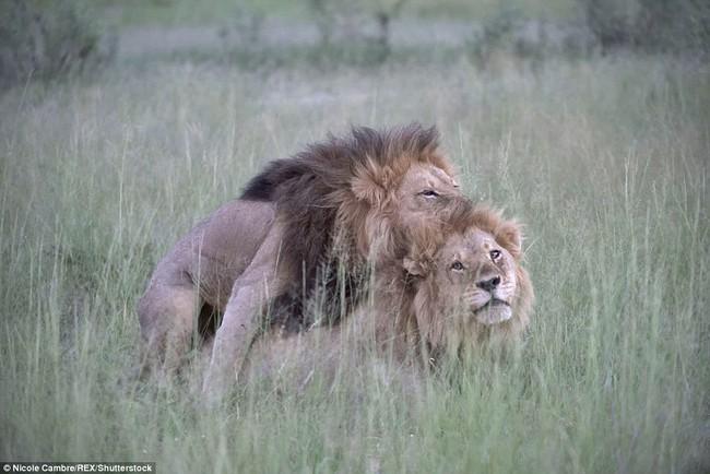 Bắt quả tang đôi sư tử đực công khai vui xuân tình giữa trời đất - Ảnh 2.