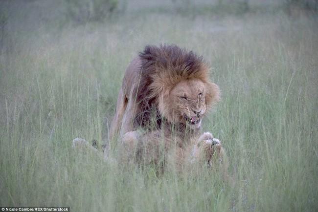 Bắt quả tang đôi sư tử đực công khai vui xuân tình giữa trời đất - Ảnh 4.