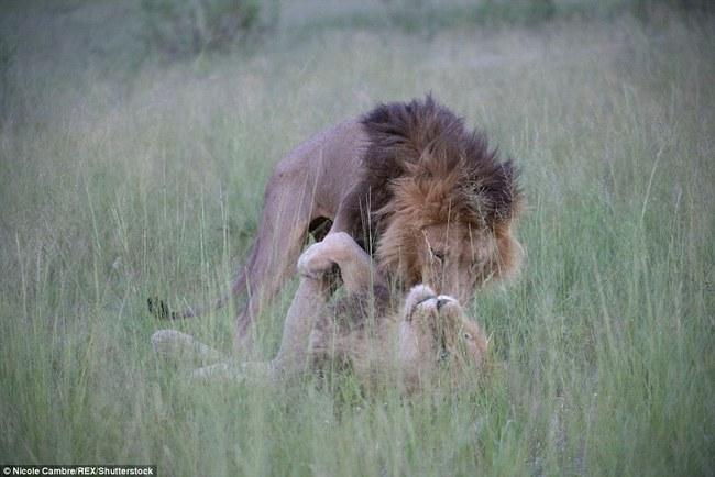 Bắt quả tang đôi sư tử đực công khai vui xuân tình giữa trời đất - Ảnh 3.