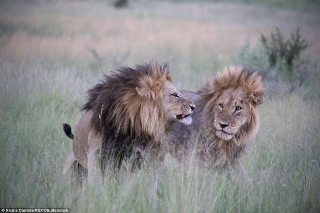 Bắt quả tang đôi sư tử đực công khai vui xuân tình giữa trời đất - Ảnh 6.