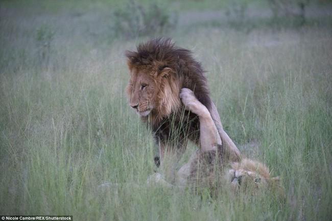 Bắt quả tang đôi sư tử đực công khai vui xuân tình giữa trời đất - Ảnh 5.