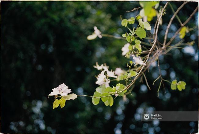 Lại một mùa hoa ban tím chở một góc Tây Bắc về giữa lòng Hà Nội - Ảnh 9.