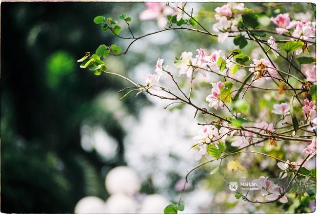 Lại một mùa hoa ban tím chở một góc Tây Bắc về giữa lòng Hà Nội - Ảnh 7.
