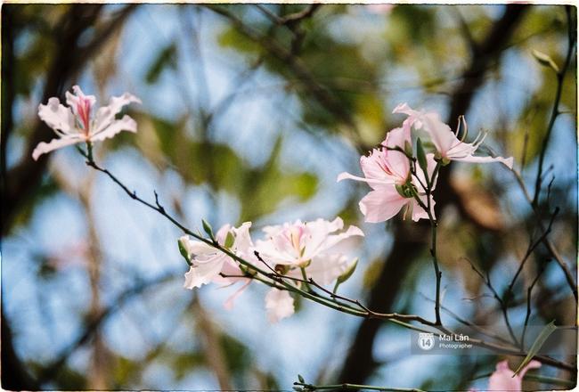 Lại một mùa hoa ban tím chở một góc Tây Bắc về giữa lòng Hà Nội - Ảnh 6.