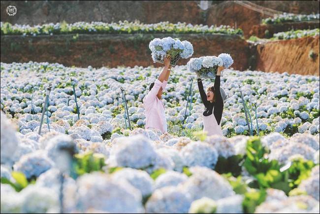 Cánh đồng hoa cẩm tú cầu đẹp mê hồn sẽ là điểm đến hot nhất ở Đà Lạt những ngày tới! - Ảnh 13.