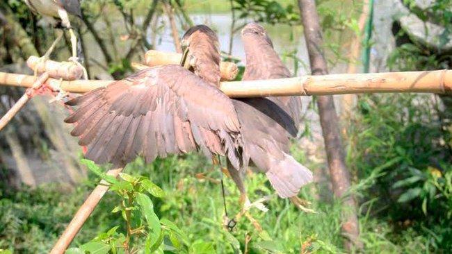 Ám ảnh đàn chim bị khâu mắt để nhử đồng loại ở Hà Tĩnh - Ảnh 11.