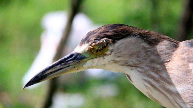Ám ảnh đàn chim bị khâu mắt để nhử đồng loại ở Hà Tĩnh - Ảnh 6.
