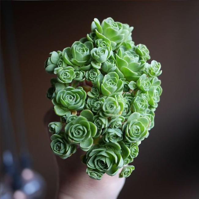 Cây lá bỏng thần kỳ mọc ra hoa hồng xanh mướt - Ảnh 9.