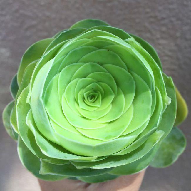 Cây lá bỏng thần kỳ mọc ra hoa hồng xanh mướt - Ảnh 13.