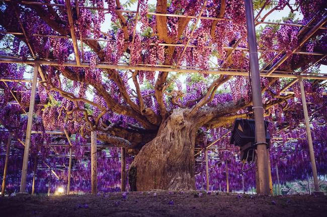 Ghé thăm xứ sở hoa tử đằng mộng mơ và nên thơ ở Nhật Bản - Ảnh 7.