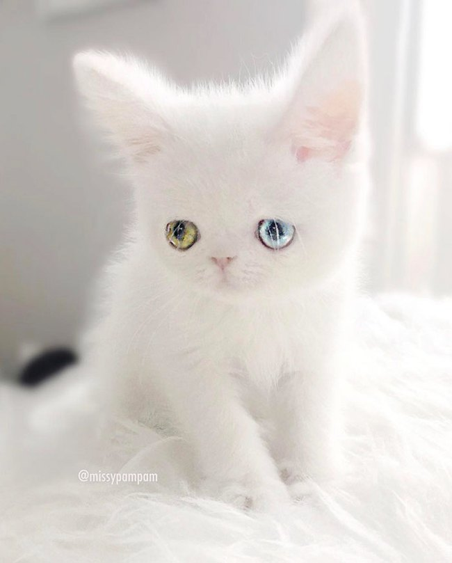 cat-eyes-heterochromia-iridis-pam-pam-29