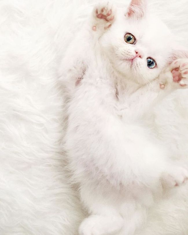 cat-eyes-heterochromia-iridis-pam-pam-5-