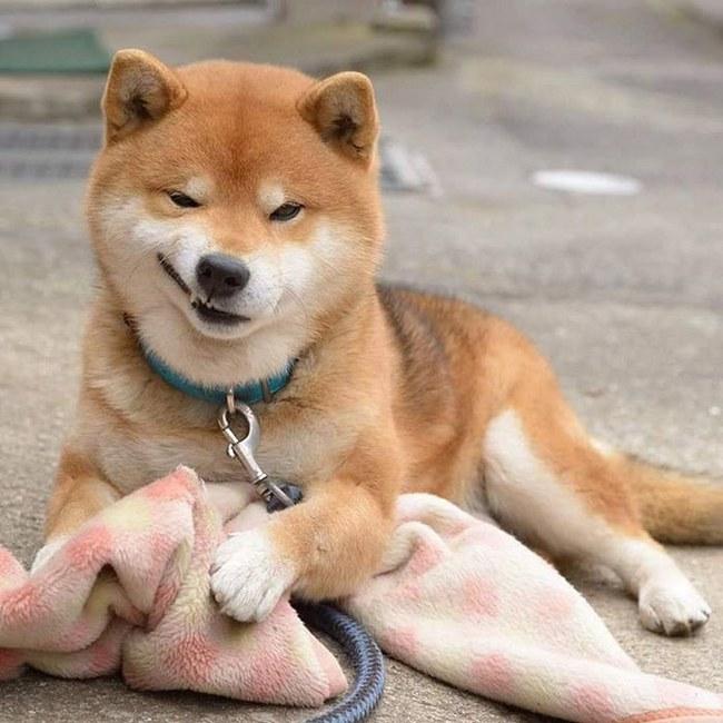 Gặp gỡ chú chó shiba có bộ mặt diễn sâu nhất quả đất - Ảnh 5.