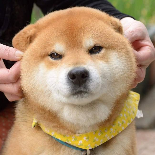 Gặp gỡ chú chó shiba có bộ mặt diễn sâu nhất quả đất - Ảnh 27.