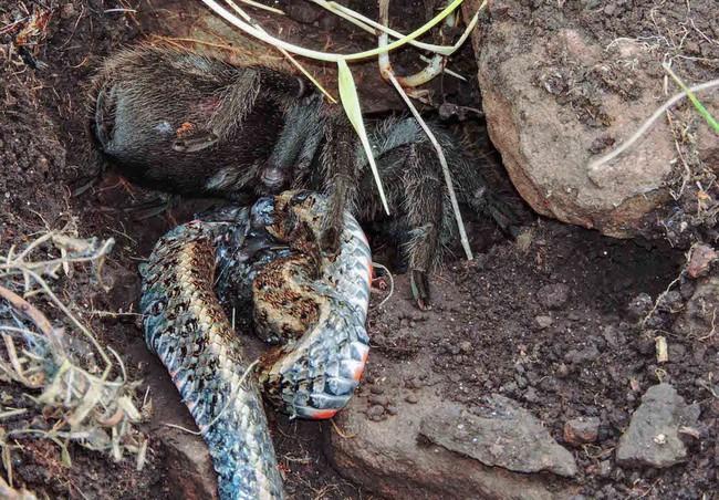 full-snake-spider-1484022612311.jpg