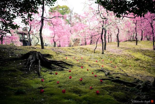 Nhật Bản vào mùa hoa mận nở trở nên đẹp đến nao lòng - Ảnh 5.