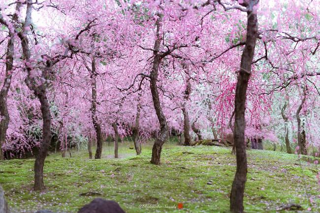 Nhật Bản vào mùa hoa mận nở trở nên đẹp đến nao lòng - Ảnh 7.