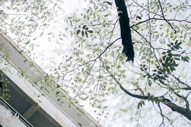 Hoa sưa nở rồi, tiết trời nồm ẩm tháng 3 của Hà Nội cũng vì thế mà dịu dàng hơn... - ảnh 1