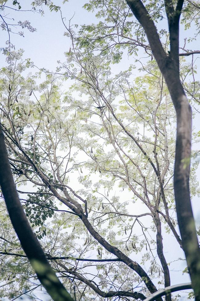 Hoa sưa nở rồi, tiết trời nồm ẩm tháng 3 của Hà Nội cũng vì thế mà dịu dàng hơn... - ảnh 4