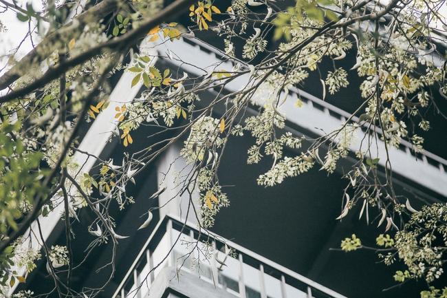 Hoa sưa nở rồi, tiết trời nồm ẩm tháng 3 của Hà Nội cũng vì thế mà dịu dàng hơn... - ảnh 2