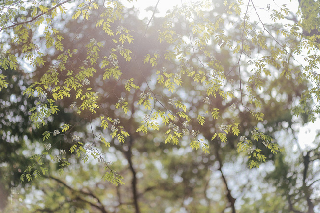 Hoa sưa nở rồi, tiết trời nồm ẩm tháng 3 của Hà Nội cũng vì thế mà dịu dàng hơn... - ảnh 5