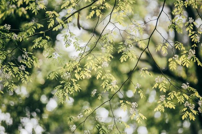 Hoa sưa nở rồi, tiết trời nồm ẩm tháng 3 của Hà Nội cũng vì thế mà dịu dàng hơn... - ảnh 8