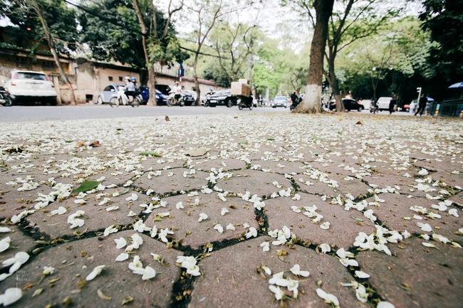 Hoa sưa nở rồi, tiết trời nồm ẩm tháng 3 của Hà Nội cũng vì thế mà dịu dàng hơn... - ảnh 9