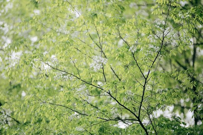 Hoa sưa nở rồi, tiết trời nồm ẩm tháng 3 của Hà Nội cũng vì thế mà dịu dàng hơn... - ảnh 7