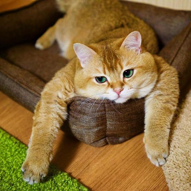 Chú mèo đi hia béo ục ịch khiến bạn muốn ẵm ngay về nuôi - Ảnh 2.