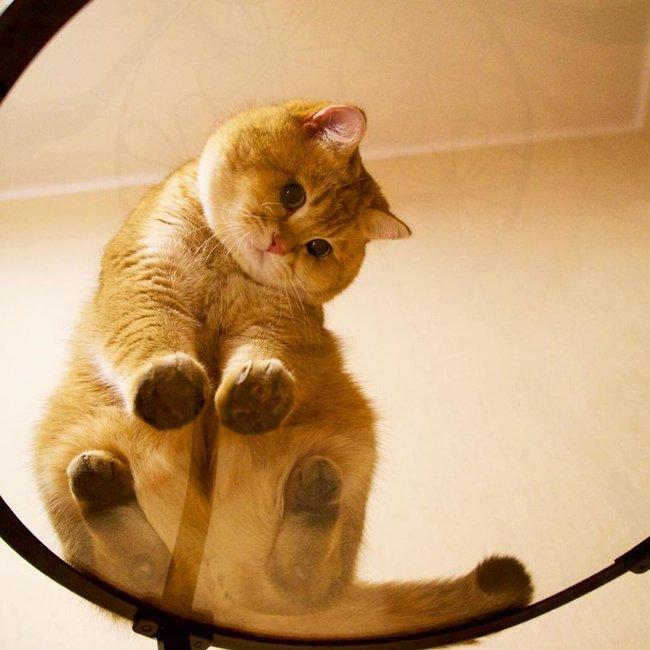 Chú mèo đi hia béo ục ịch khiến bạn muốn ẵm ngay về nuôi - Ảnh 10.