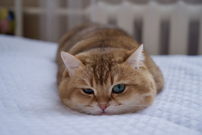 Chú mèo đi hia béo ục ịch khiến bạn muốn ẵm ngay về nuôi - Ảnh 14.