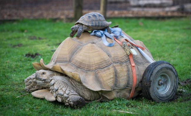 Bị liệt vì giao phối quá độ, chú rùa được lắp thêm bánh xe di chuyển cho dễ dàng - ảnh 1