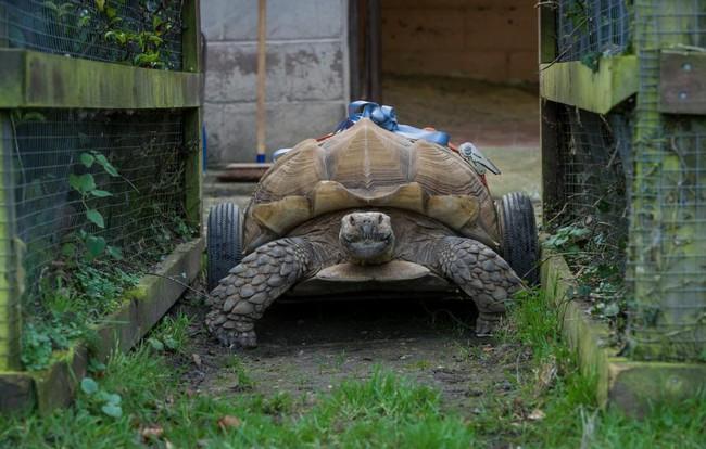 Bị liệt vì giao phối quá độ, chú rùa được lắp thêm bánh xe di chuyển cho dễ dàng - ảnh 2